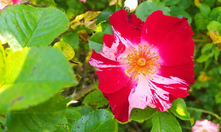 Wekerlei világjárók - Rózsa, a virágok királynője